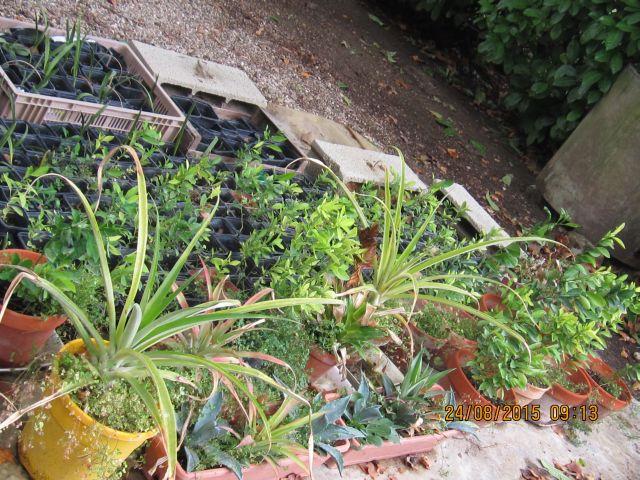 comment créer un verger à partir de graines,  noyaux,  pepins... Photo_34