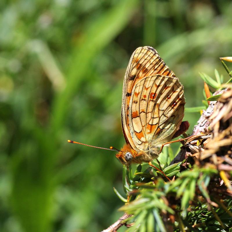 Papillon pyrénéen. Espoug11