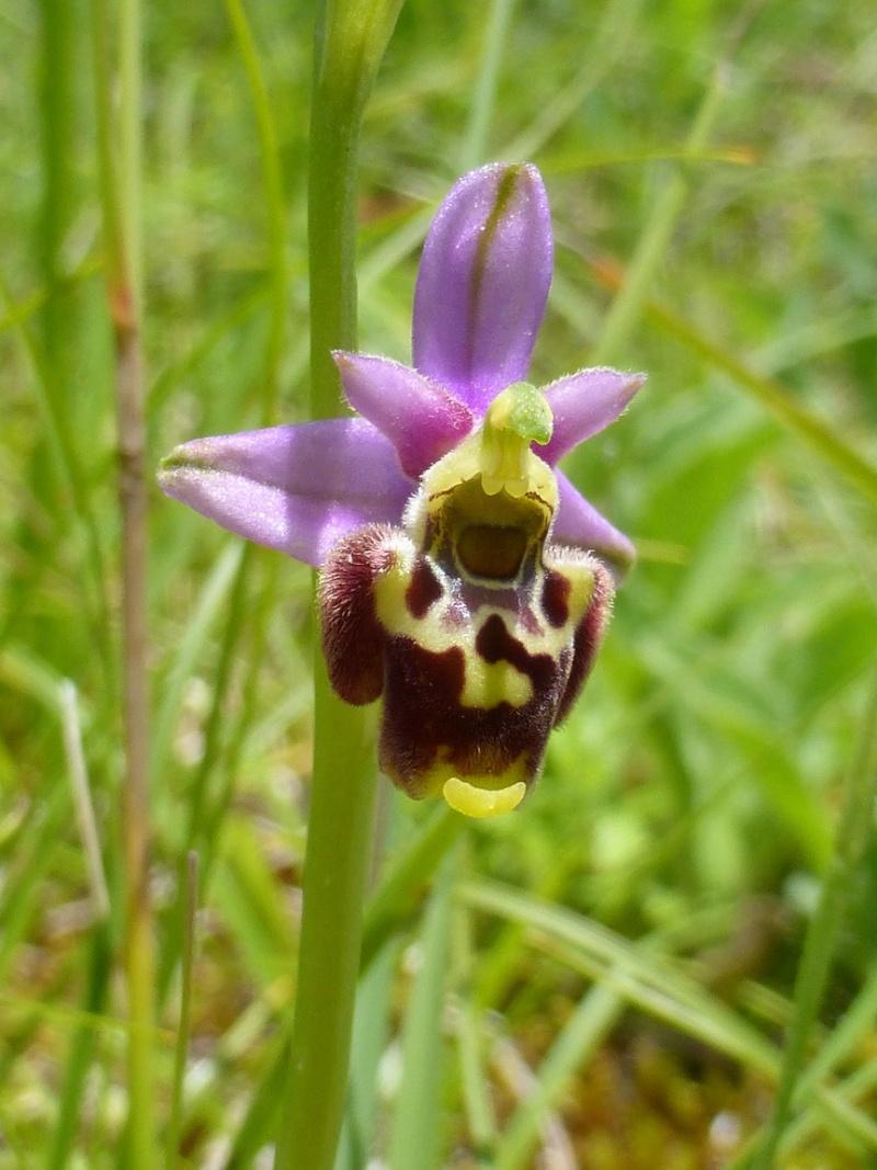 ophrys gresivaudanica 07710
