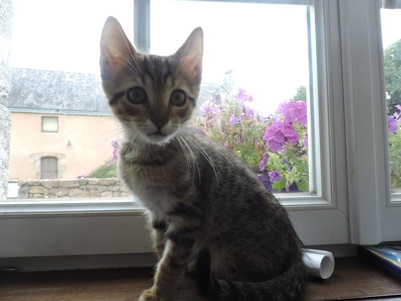 Ludwig mâle tigré fauve né le 6 mai 2015 Dscn0814