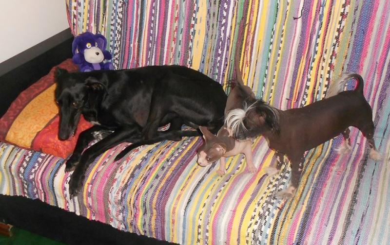 Perla, galga noire, 1 an 1/2  Scooby France Adoptée  - Page 3 11831710