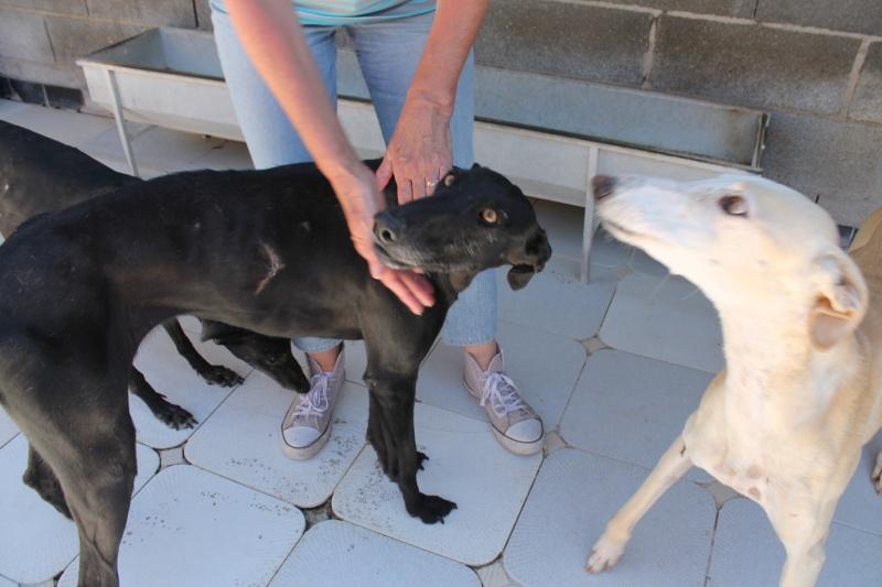 Perla, galga noire, 1 an 1/2  Scooby France Adoptée  Img_0110