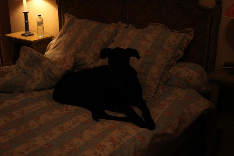 Perla, galga noire, 1 an 1/2  Scooby France Adoptée  - Page 2 Img_0210