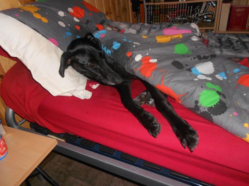 Perla, galga noire, 1 an 1/2  Scooby France Adoptée  - Page 3 Lit_pe10