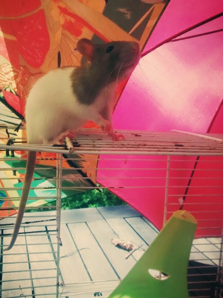 Adoption de deux ratounes Img_2014