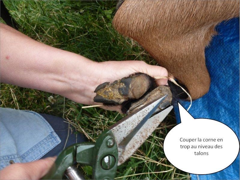 petit cours de taille des sabots chez les chèvres Image410