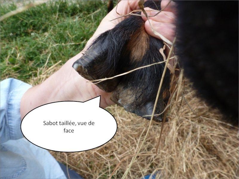 petit cours de taille des sabots chez les chèvres Image610