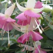 premieres fleures Rose_q10