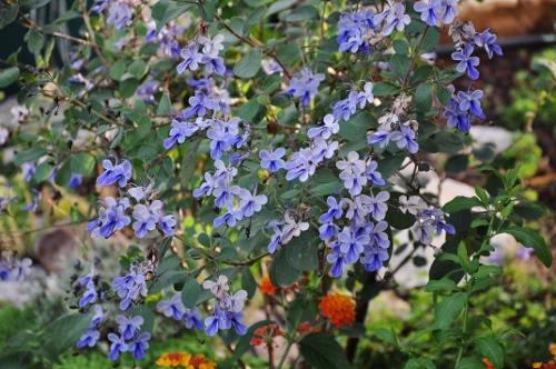 butinages du jour à l'ombre de nos plantes  - Page 2 001_5013