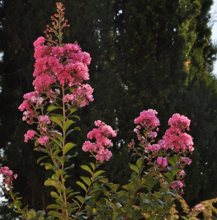 Lagerstroemia indica - Page 2 008_4411
