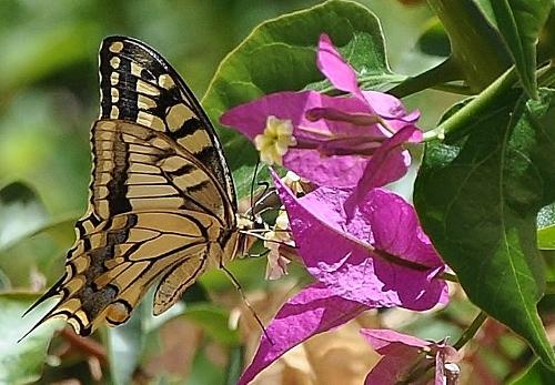fil(et) à papillons - Page 6 011_5010