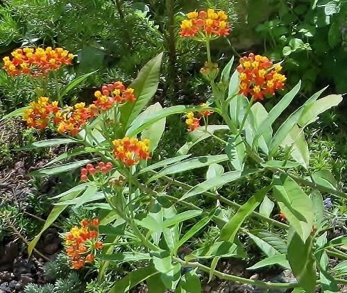 butinages du jour à l'ombre de nos plantes  - Page 4 012_5011