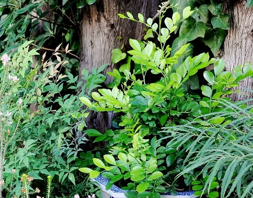 Murraya paniculata - bois-jasmin 016_5011