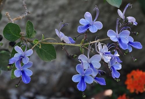 Rotheca myricoides (= Clerodendrum ugandense) - clérodendron ougandais 019_5012