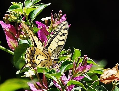 fil(et) à papillons - Page 6 019_5013