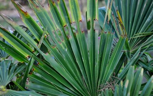 Paysandisia archon - la terreur des palmiers 020_5013