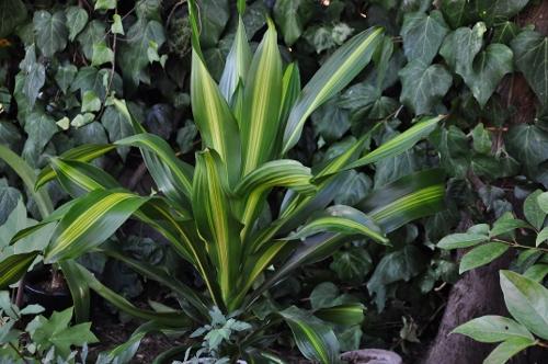 Dracaena fragrans 'Burley' 024_5014