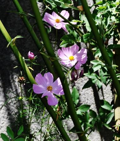 butinages du jour à l'ombre de nos plantes  - Page 2 030_3810