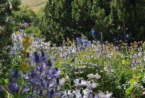 Jardin botanique alpin du Col du Lautaret dans les Hautes-Alpes (05) 032_5010