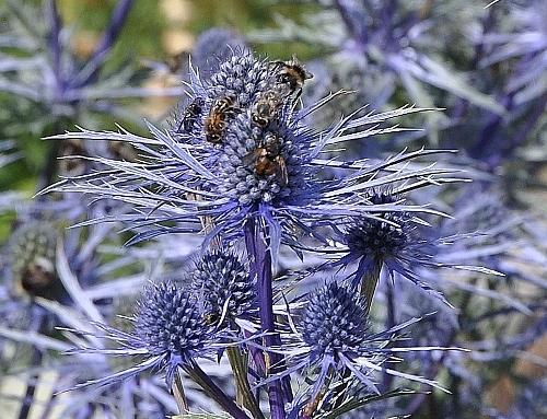 Jardin botanique alpin du Col du Lautaret dans les Hautes-Alpes (05) 054_5010