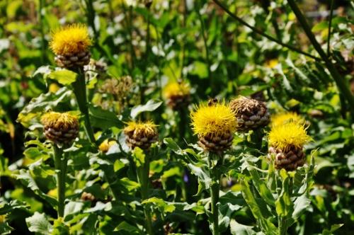 Jardin botanique alpin du Col du Lautaret dans les Hautes-Alpes (05) 074_5010