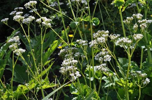 Jardin botanique alpin du Col du Lautaret dans les Hautes-Alpes (05) 078_5011