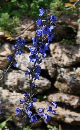 Jardin botanique alpin du Col du Lautaret dans les Hautes-Alpes (05) - Page 2 111_2710