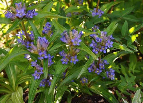 Jardin botanique alpin du Col du Lautaret dans les Hautes-Alpes (05) 112_5010