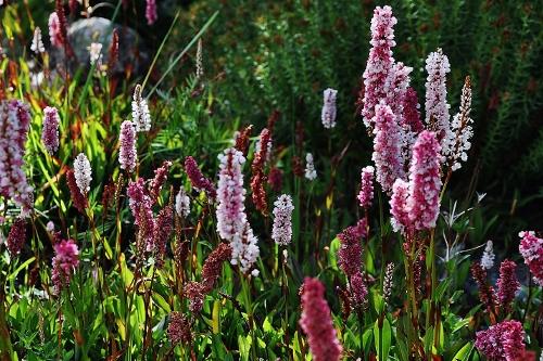Jardin botanique alpin du Col du Lautaret dans les Hautes-Alpes (05) - Page 2 120_5012