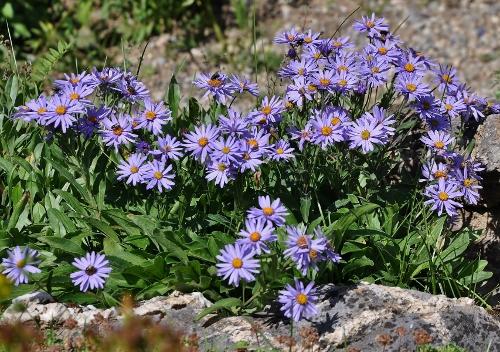 Jardin botanique alpin du Col du Lautaret dans les Hautes-Alpes (05) - Page 2 124_5011