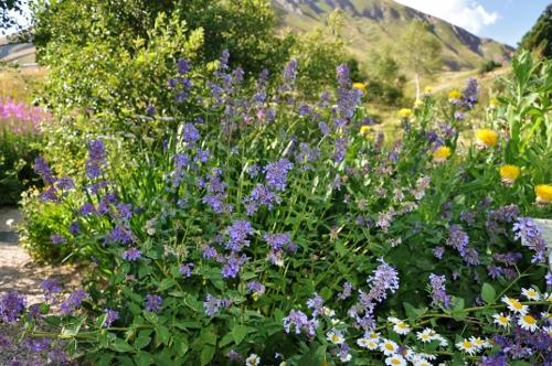 Jardin botanique alpin du Col du Lautaret dans les Hautes-Alpes (05) 176_5010