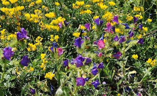 Echium plantagineum - vipérine pourpre 7_mai_13