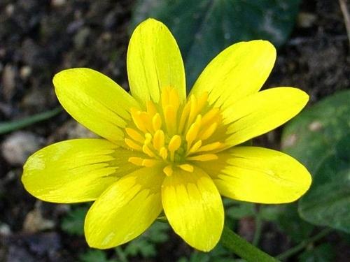 Ficaria verna (= Ranunculus ficaria) - ficaire Aconit10