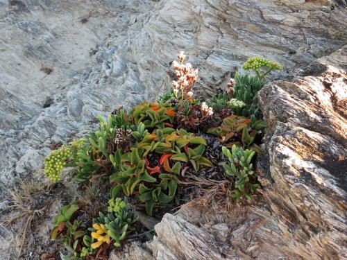 flore du littoral : plages, dunes, vases et rochers maritimes - Page 2 Bretag10