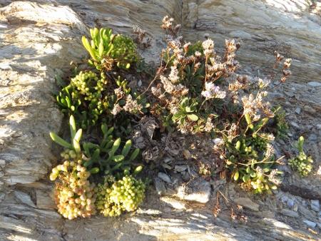 flore du littoral : plages, dunes, vases et rochers maritimes - Page 2 Bretag11