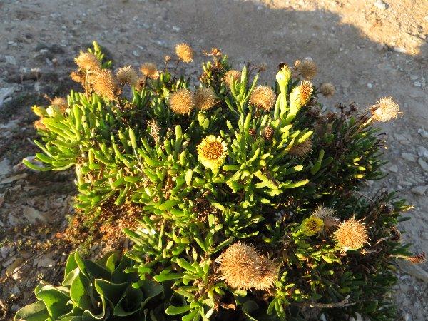 flore du littoral : plages, dunes, vases et rochers maritimes - Page 3 Bretag16