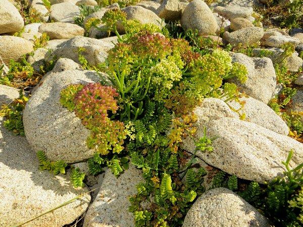 flore du littoral : plages, dunes, vases et rochers maritimes - Page 3 Bretag20