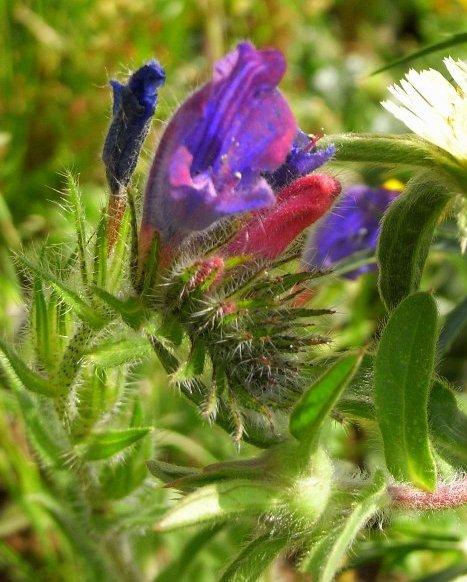 Echium plantagineum - vipérine pourpre Copy_o10