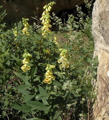 Digitalis grandiflora - digitale à grandes fleurs Digita10