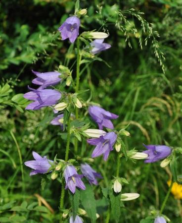 Campanula trachelium - campanule à feuilles d'ortie Juille15