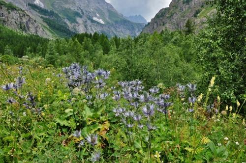 Jardin botanique alpin du Col du Lautaret dans les Hautes-Alpes (05) Juille20