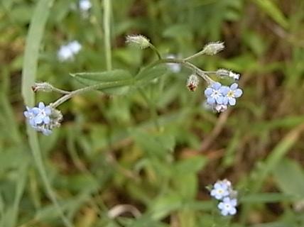 Myosotis arvensis - myosotis des champs Rimg0810