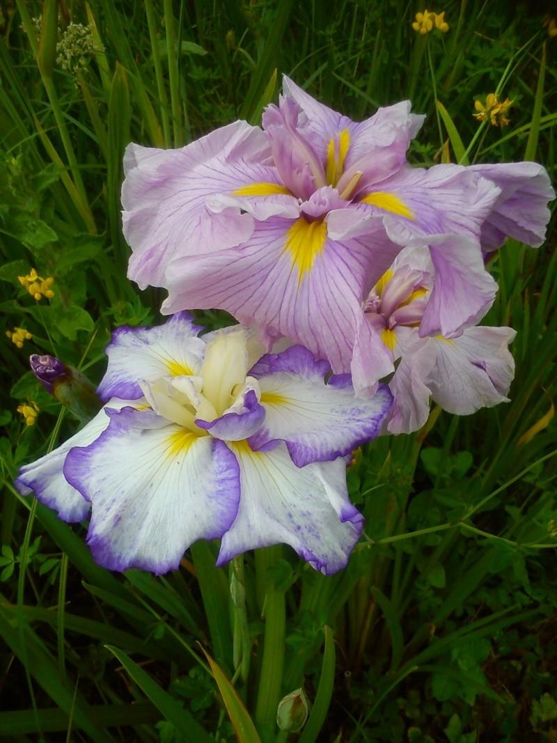 Iris 2015 - Page 3 Dsc_0613