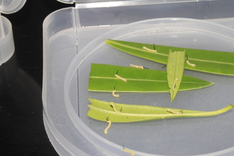 Acherontia atropos sur Apocynaceae  _mg_8011