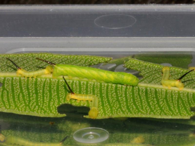 Acherontia atropos sur Apocynaceae  _mg_8012
