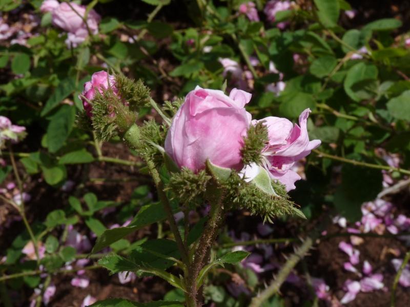 Visite de la roseraie de la Malmaison - Page 2 P1190911