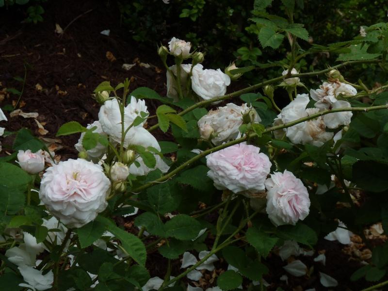 Visite de la roseraie de la Malmaison - Page 3 P1190914