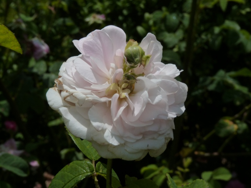 Visite de la roseraie de la Malmaison - Page 3 P1190915