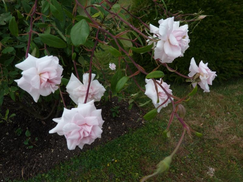 Visite de la roseraie de la Malmaison - Page 3 P1190917