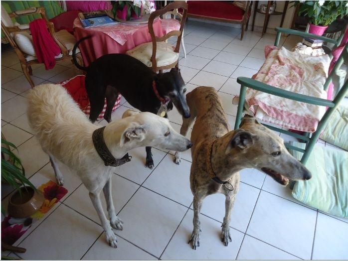 "Campeon galgo bringé clair à l'adoption ""Scooby France"" Adopté - Page 2 Campeo15"